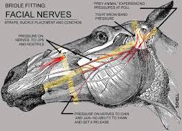horse facial nerves