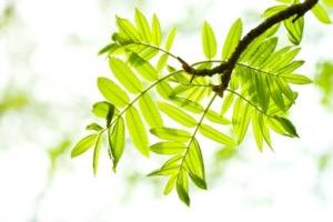 ash-tree