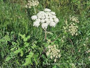 common-hogweed