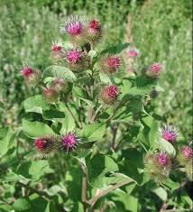 burdock-flowers